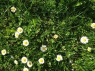 Ganseblümchen zu Hauf, 2015