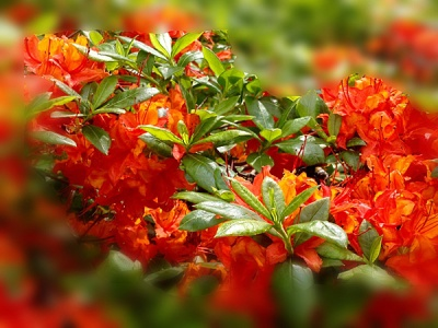 Roter Rhododendron 1bweb