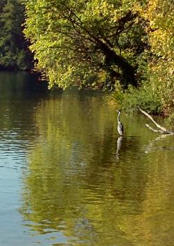 Reiher am Tegeler See, 2015