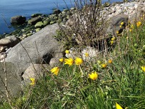Wilde Tulpen auf Bormholm 2017