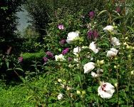 Hibiscus und Sommerflieder 2017